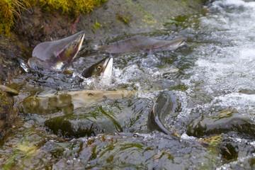 hunchback salmon (Oncorhynchus gorbuscha) 7