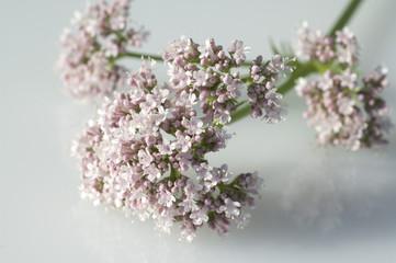 Badrianbluete, Valeriana officinalis