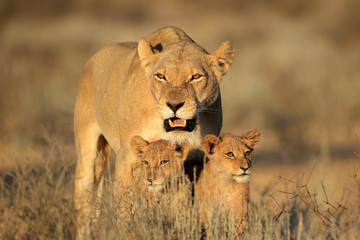 Lioness with young cubs, Kalahari