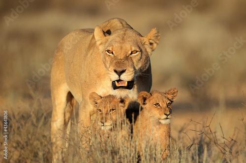 Lioness z młodych Yankees, Kalahari
