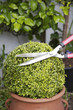 Trimming a plant with hedge clippers