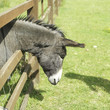 Donkey in the farm