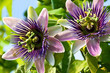 canvas print picture - Passiflora - Medizin