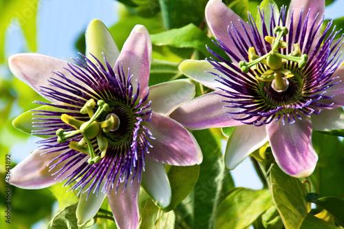 canvas print picture Passiflora - Medizin