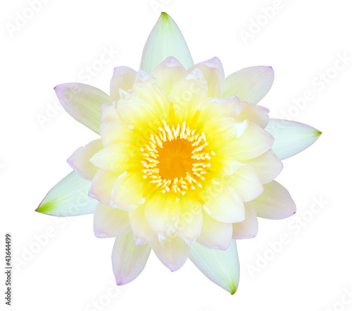 Yellow and pink water lily isolated