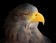 The Eagle head - Haliaeetus albicilla .