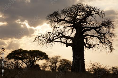 baobab sunset silhouette