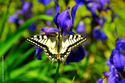 Beautiful swallowtail butterfly on purple iris