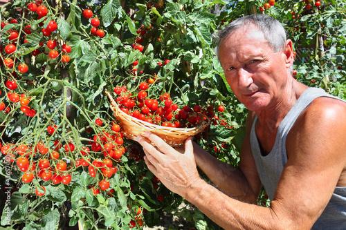 man picking cherry tomato