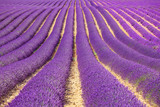Fototapety Lavender flower blooming fields as pattern or texture. Provence,