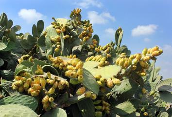 fruit cactus Opuntia