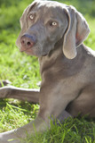 Weimaraner Dog Laying on Grass in Sunshine poster