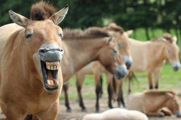 Gähnender Przewalskihengst mit seiner Herde