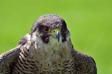 Close up of peregrine falcon
