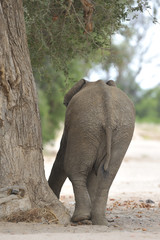 Elephant by a Tree 1