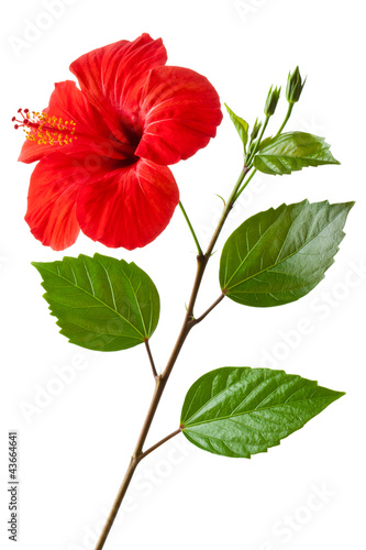 Flowering Hibiscus
