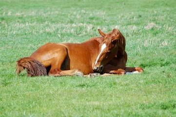 Pferd sitzend auf einer Wiese