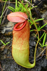 The Nepenthes or Monkey Cups in the forest