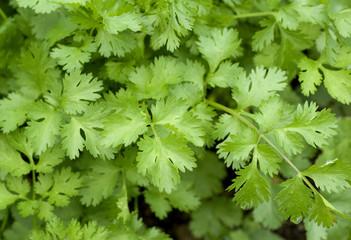 Koriander, Coriandrum sativum,  Blaetter,