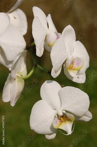 Fototapeten,weiß,orchidee,orchidee,exotisch