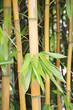 Bambusrohr und Blätter