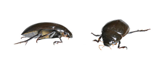 Great Water Beetle (Hydrophilus piceus) two positions isolated