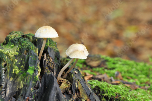 Deep Root mushroom (Xerula radicata) in the forest