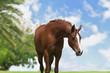 An Arabian Horse on a pasture