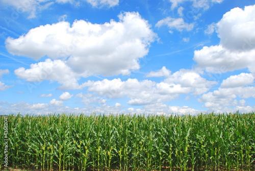 Organic corn farming