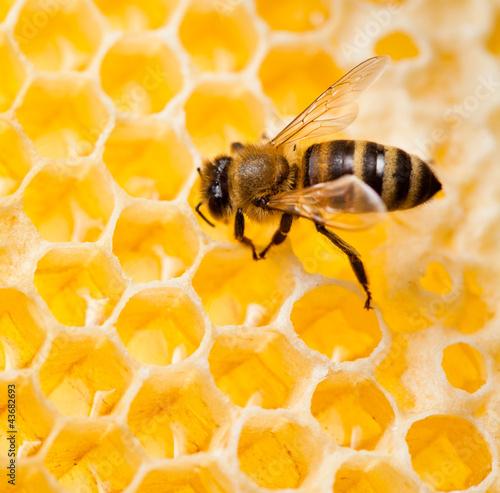Foto op Plexiglas Bee bee macro shot collecting honey in honeycomb