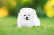 Adorable white Pomeranian puppy sitting in the grass