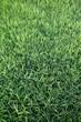 Pelouse, gazon, herbe, vert, jardin, parc, verdure