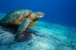 Huge sea turtle on sandy bottom