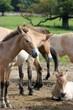 Fototapeten,pferd,pferd,wildpferd,fohlen