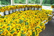 Sunflower Sales