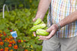 Gurken ernten im Gemüsegarten