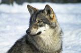 Fototapeta psów - ssak - Dziki Ssak