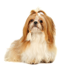 Shih Tzu in studio