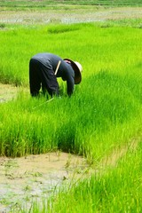 farmer working planting rice in farme of Thailand sountheast asi