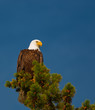Bald Eagle wildlife Kanada