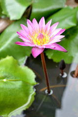 pink water lily blossom