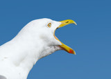 Angry squawking seagull with beak wide open.