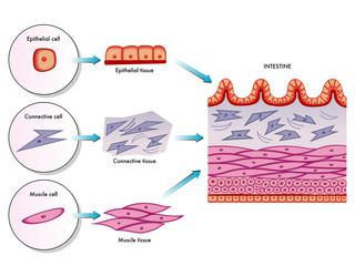cellule della parete intestinale