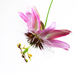Passiflora Flower over white