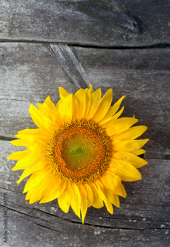 sunflower on wooden background