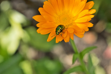 Beetle on a flower