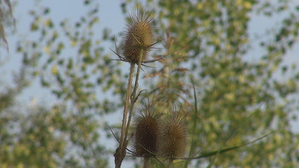 Beautiful thistle among tree