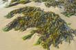 seaweed on a beach sand