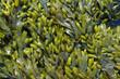 seaweed close up
