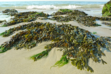 green seaweed on a beach and sea
